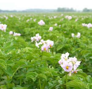 Pflege der Kartoffelpflanzen