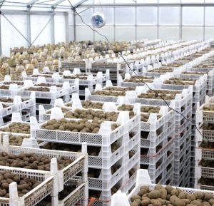 Vorbereitung der Pflanzkartoffeln