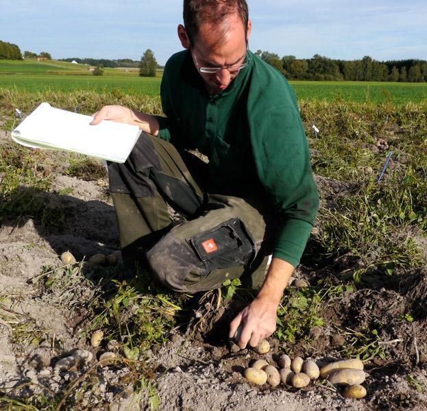 Begutachtung Kartoffelkreuzungen
