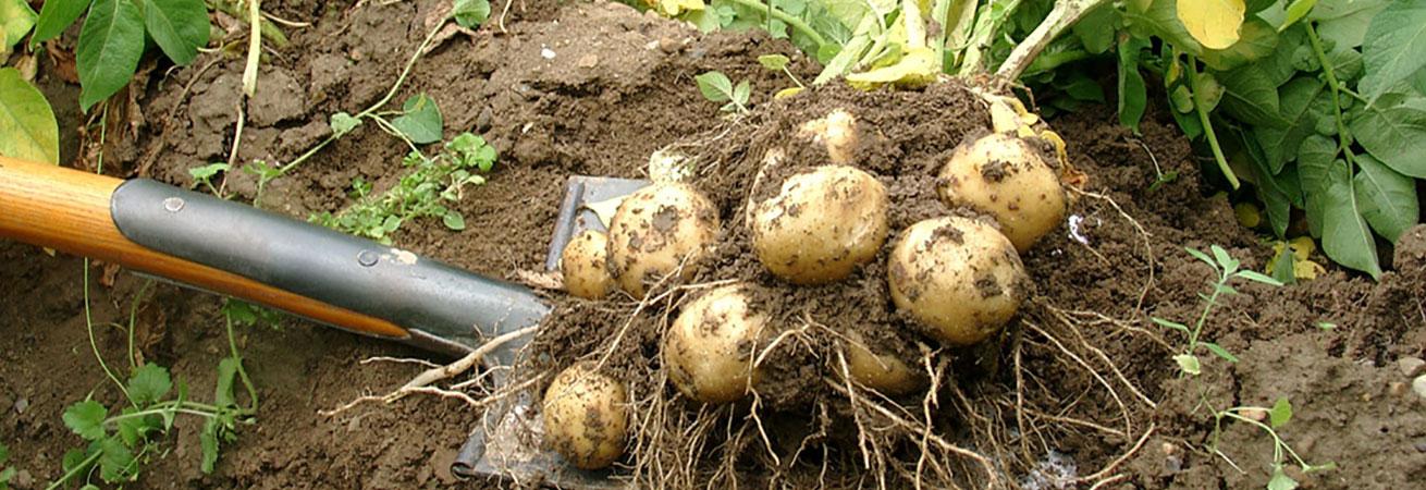 Bio Kartoffelanbau
