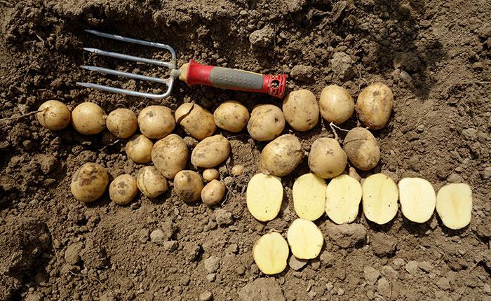 Kartoffelsorte Erna Handernte